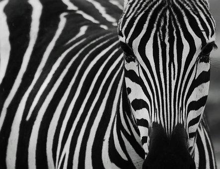 zebra-2896325__340