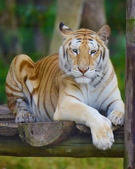 tiger-1157452__340