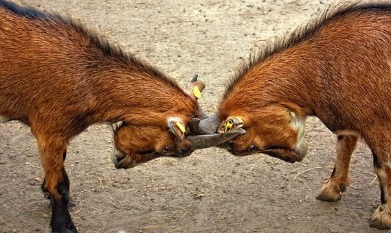 goats-173940__340