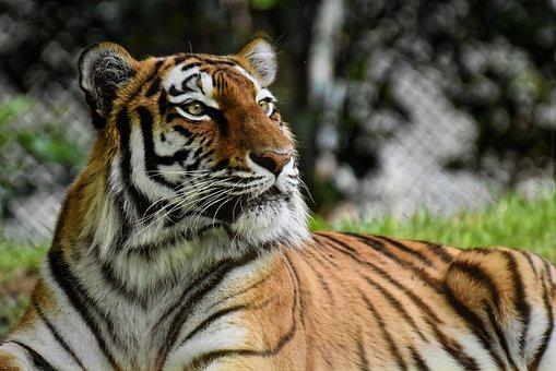 tiger-4386931__340