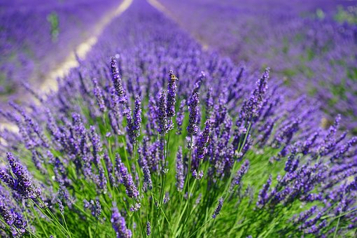 lavender-field-1595587__340 (1)