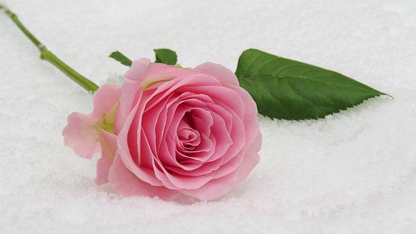 rose-3142660__340